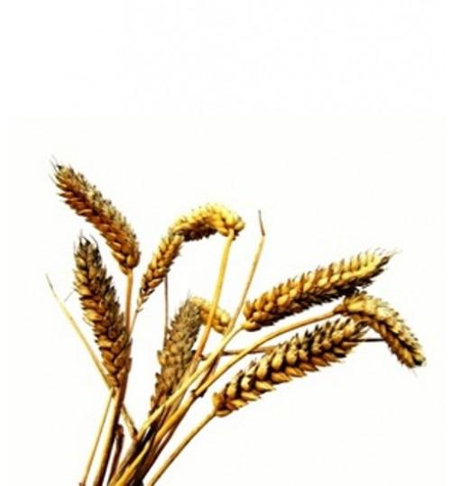 Pšenične klice (TRITICI AESTIVI OLEUM) hladno tiješteno biljno ulje