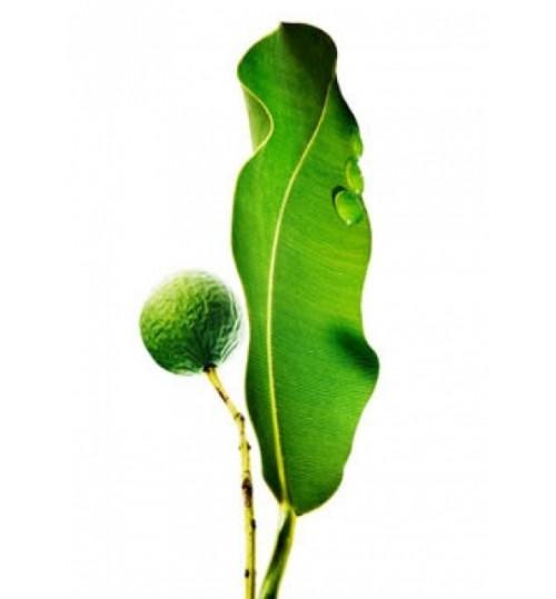 Tamanu (CALOPHYLLUM OLEUM) hladno tiješteno biljno ulje