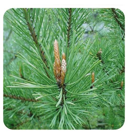 BOR BIJELI ETERIČNO ULJE 30 ml (Pinus sylvestris)