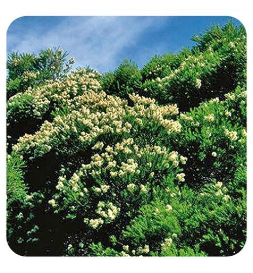 ČAJEVAC ETERIČNO ULJE 30 ml (Melaleuca alternifolia)